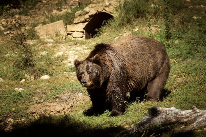 Urso de Brown grande imagens de stock