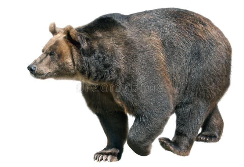 Urso de Brown isolado no branco fotografia de stock royalty free