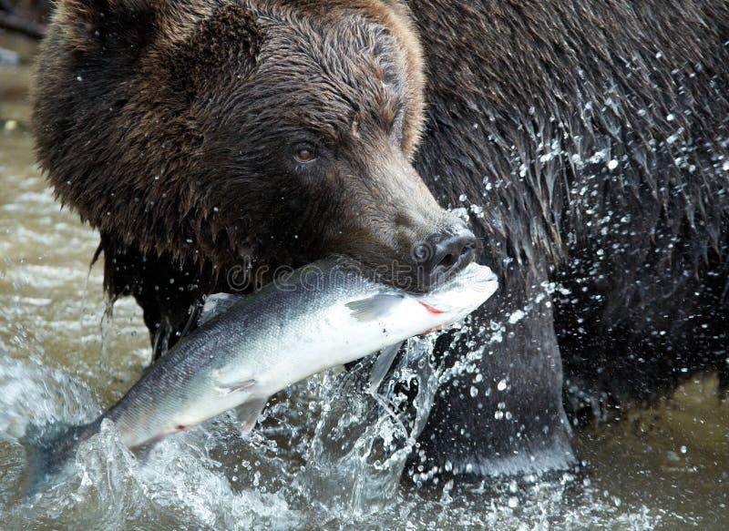 Urso de Brown, Kamchatka foto de stock royalty free