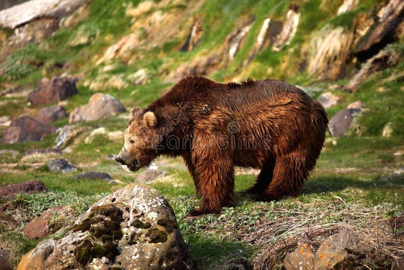 Urso de Brown, Kamchatka, fotografia de stock