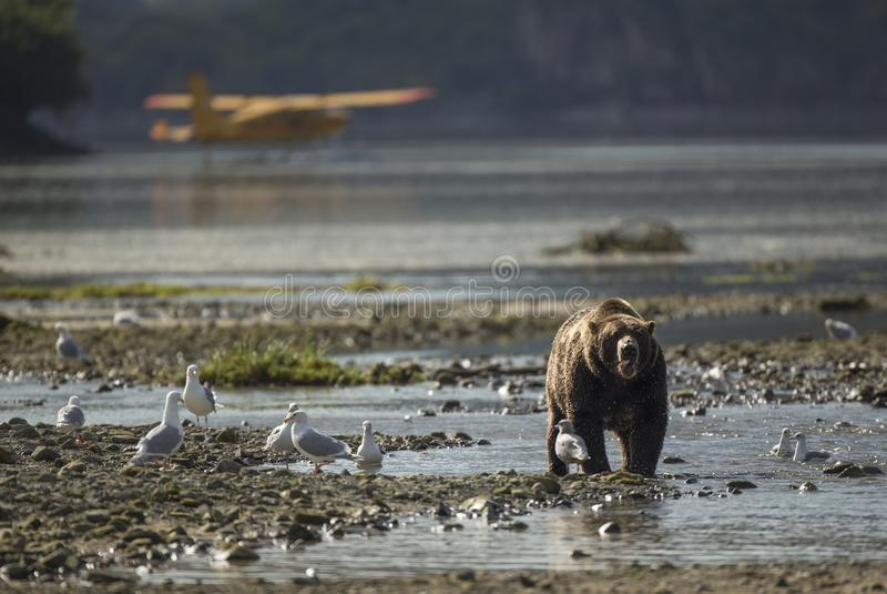 Urso de Brown litoral na frente do avião foto de stock