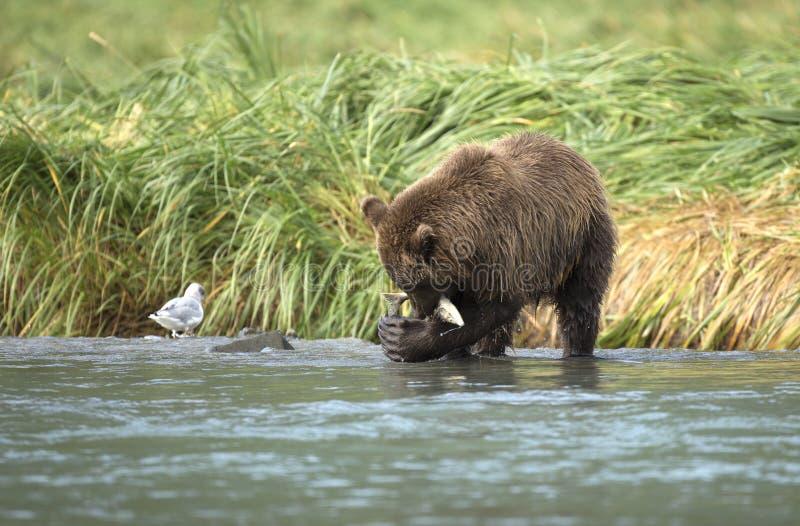 Urso de Brown litoral que come salmões imagens de stock