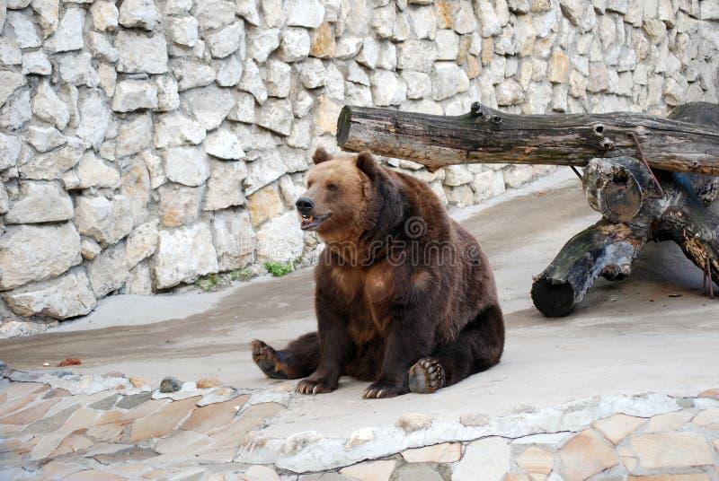 Urso de Brown Mamífero predatório do urso da família, um dos predadores os maiores da terra Jardim zoológico de Moscovo imagens de stock