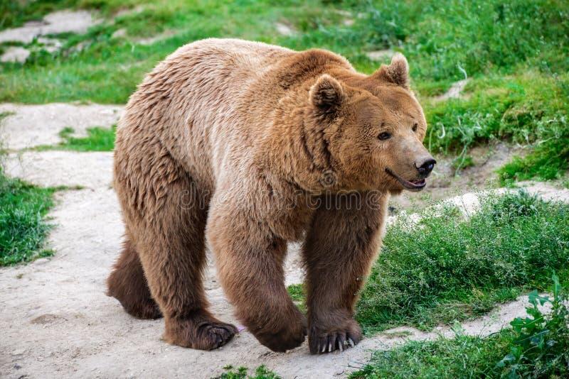 Urso de Brown, montanhas Carpathian foto de stock