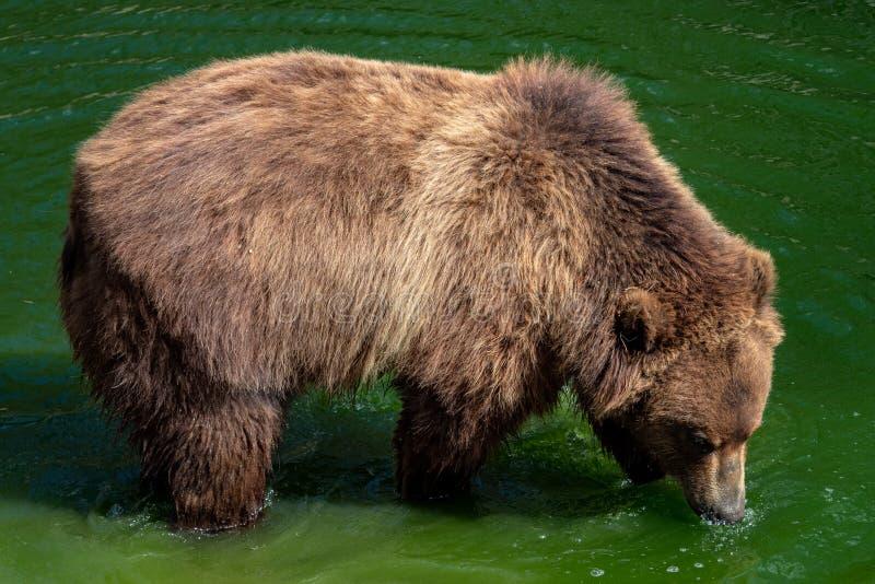 Urso de Brown na água Retrato do beringianus dos arctos do Ursus do urso marrom imagens de stock royalty free
