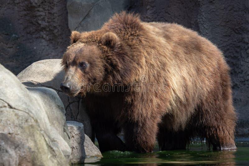 Urso de Brown na água Retrato do urso marrom fotografia de stock