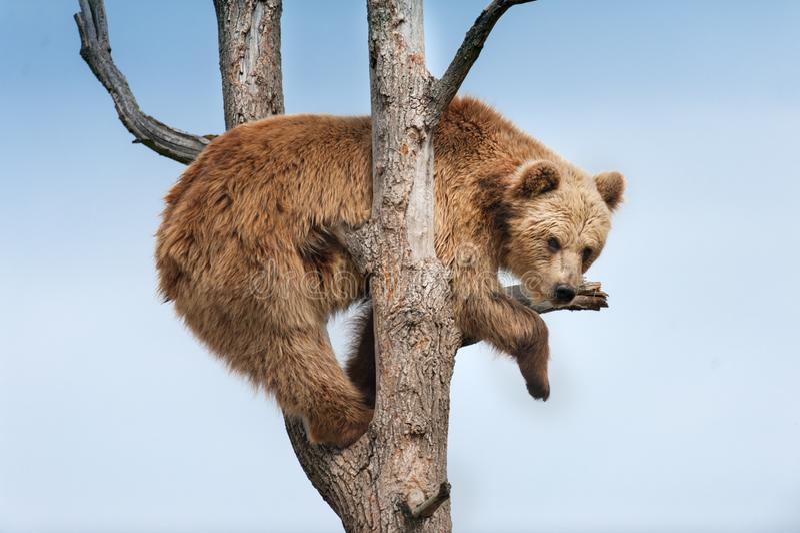 Urso de Brown na árvore imagens de stock royalty free