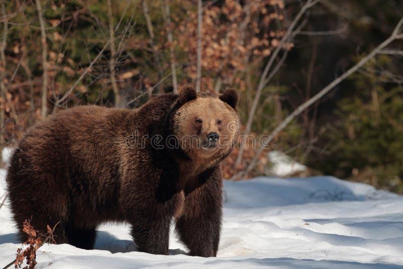 Urso de Brown na floresta de montanhas de Maramures imagem de stock