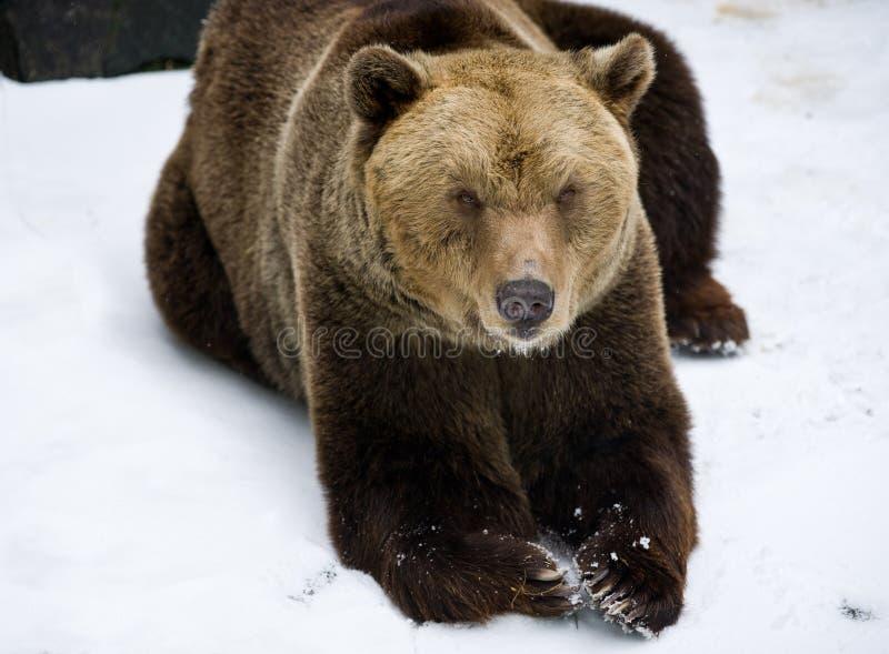 Urso de Brown na neve imagens de stock