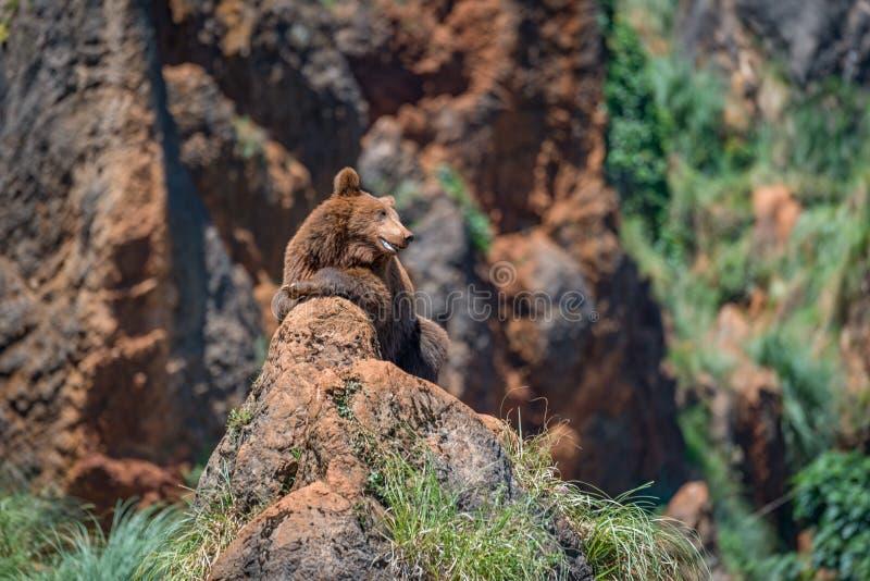 Urso de Brown na rocha com boca aberta fotografia de stock royalty free