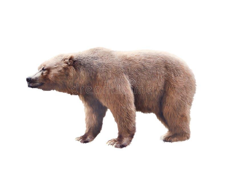 Urso de Brown no fundo branco imagem de stock