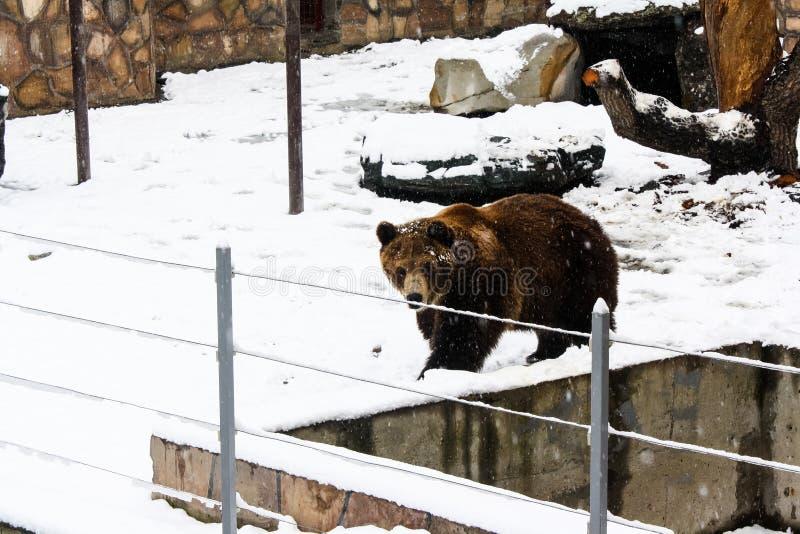Urso de Brown no jardim zool?gico imagens de stock