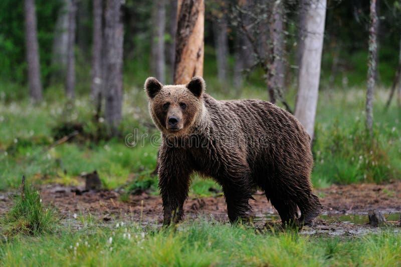 Urso de Brown no pântano imagens de stock