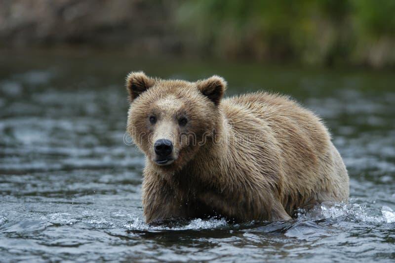 Urso de Brown novo que está no rio dos ribeiros imagens de stock royalty free