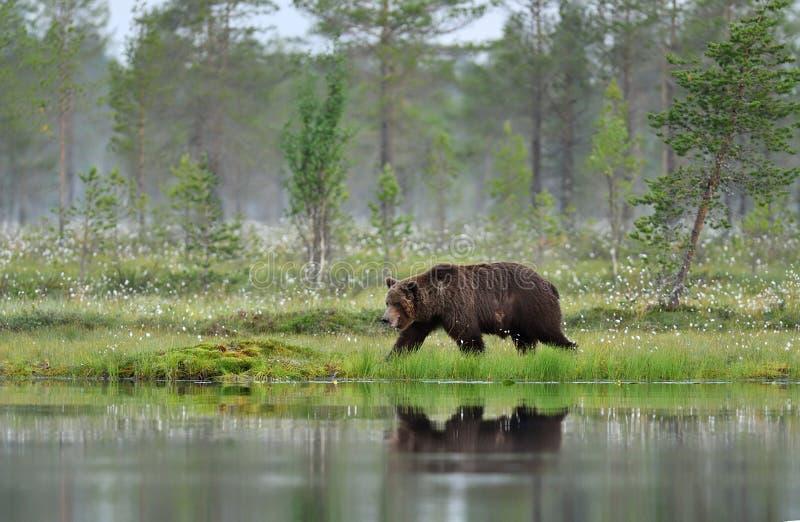 Urso de Brown que anda cedo na manhã fotos de stock