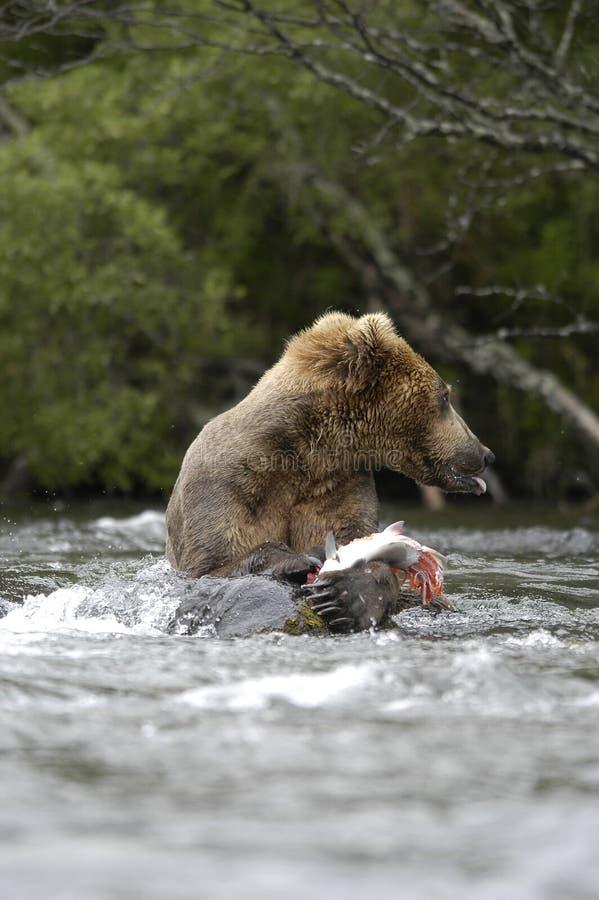 Urso de Brown que come salmões imagem de stock