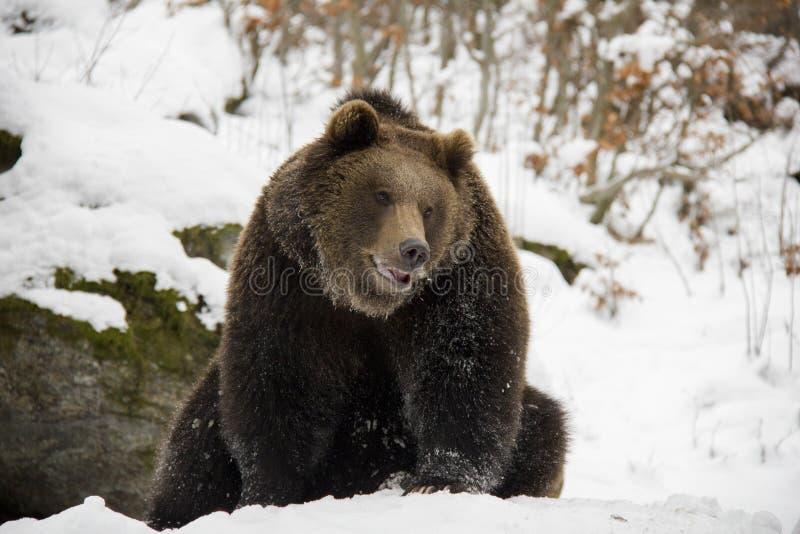 Urso de Brown que dorme em uma neve imagens de stock royalty free