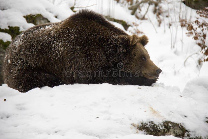 Urso de Brown que encontra-se em uma neve fotos de stock