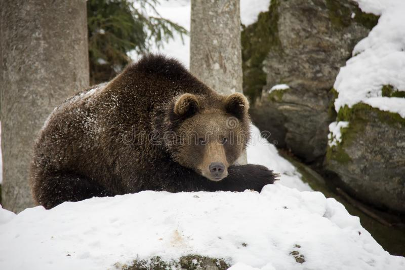 Urso de Brown que encontra-se em uma neve fotos de stock royalty free