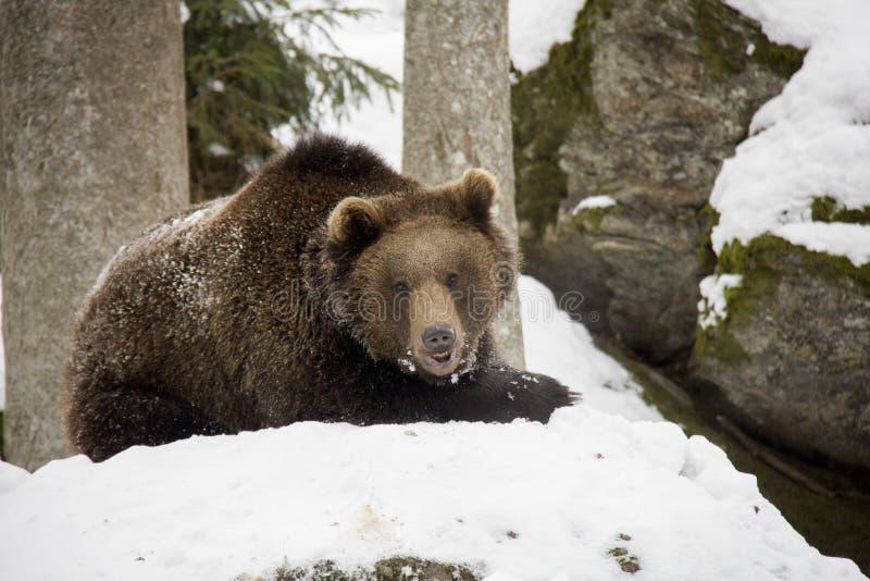 Urso de Brown que encontra-se em uma neve imagens de stock royalty free