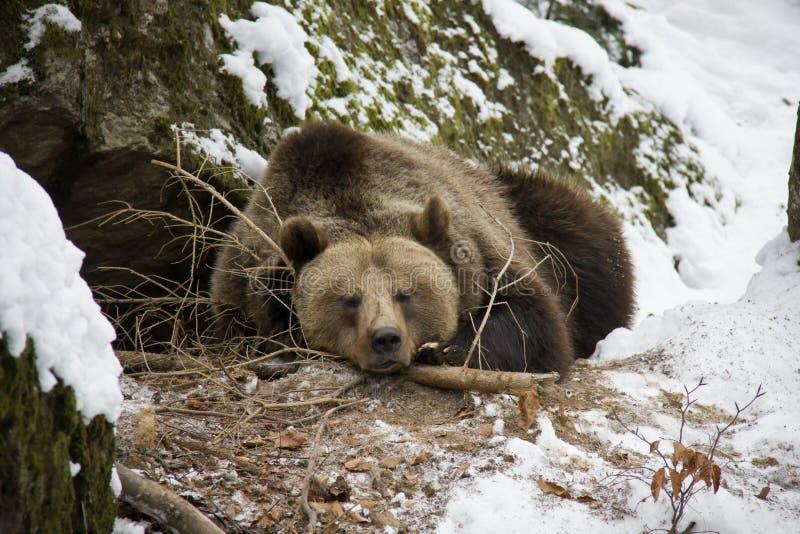 Urso de Brown que encontra-se em uma neve imagem de stock royalty free