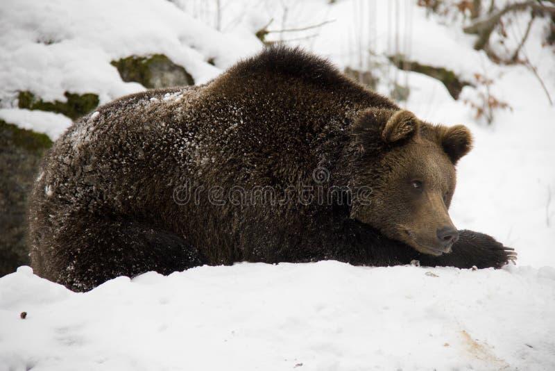 Urso de Brown que encontra-se em uma neve fotografia de stock royalty free