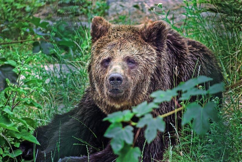 Urso de Brown que encontra-se na grama foto de stock