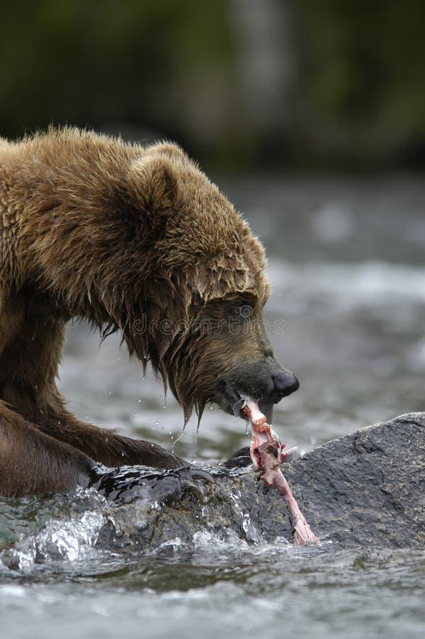 Urso de Brown que rasga acima salmões imagens de stock royalty free
