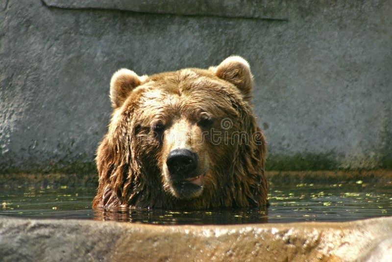Urso de Brown que toma um banho imagem de stock
