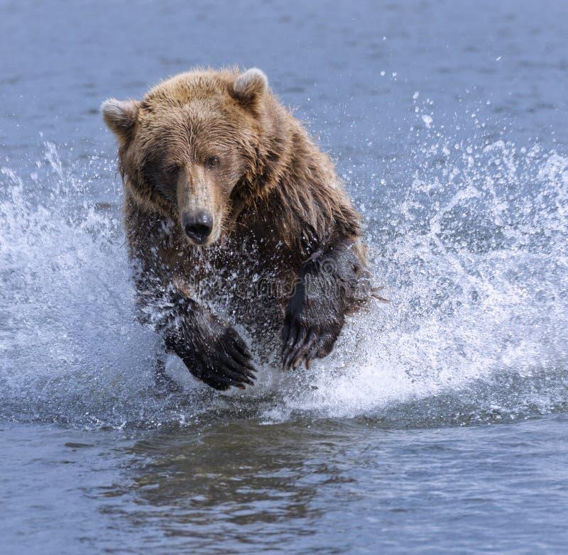 Urso de carregamento foto de stock royalty free