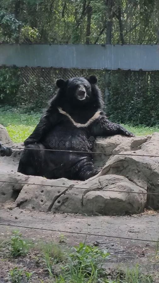 Urso de descanso imagem de stock