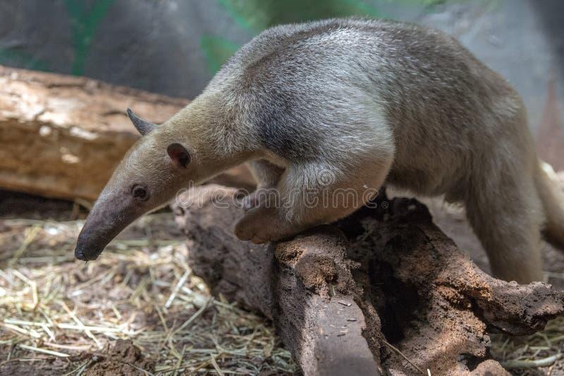 Urso de formiga do sul da floresta de Ámérica do Sul do tamandua foto de stock royalty free