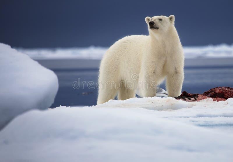 Urso de gelo fotografia de stock royalty free