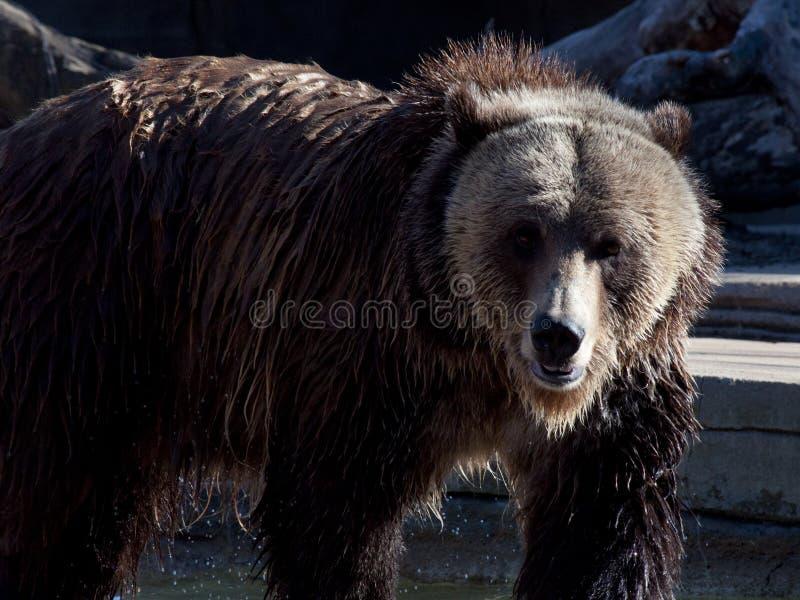 Urso de Grizzley que forrageia para o alimento imagens de stock