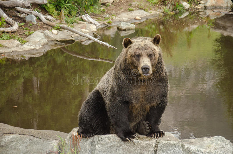 Urso de Grizzley que forrageia para o alimento imagens de stock royalty free