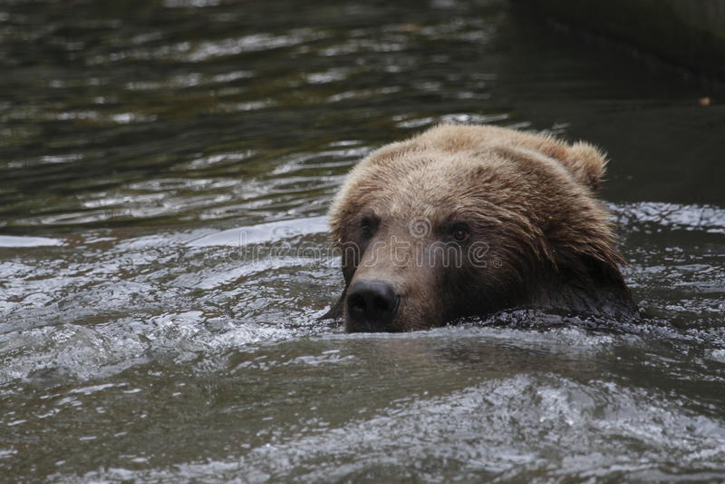 Urso de Kamchatka Brown fotos de stock royalty free