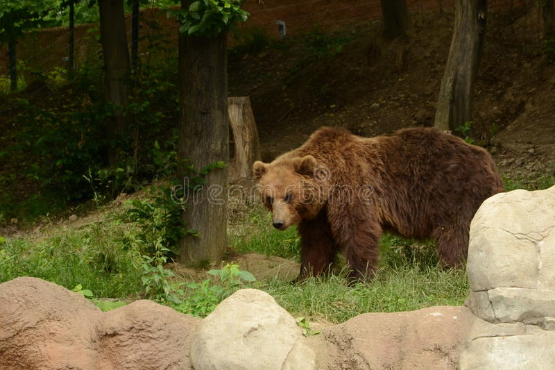 Urso de Kamchatka Brown fotos de stock