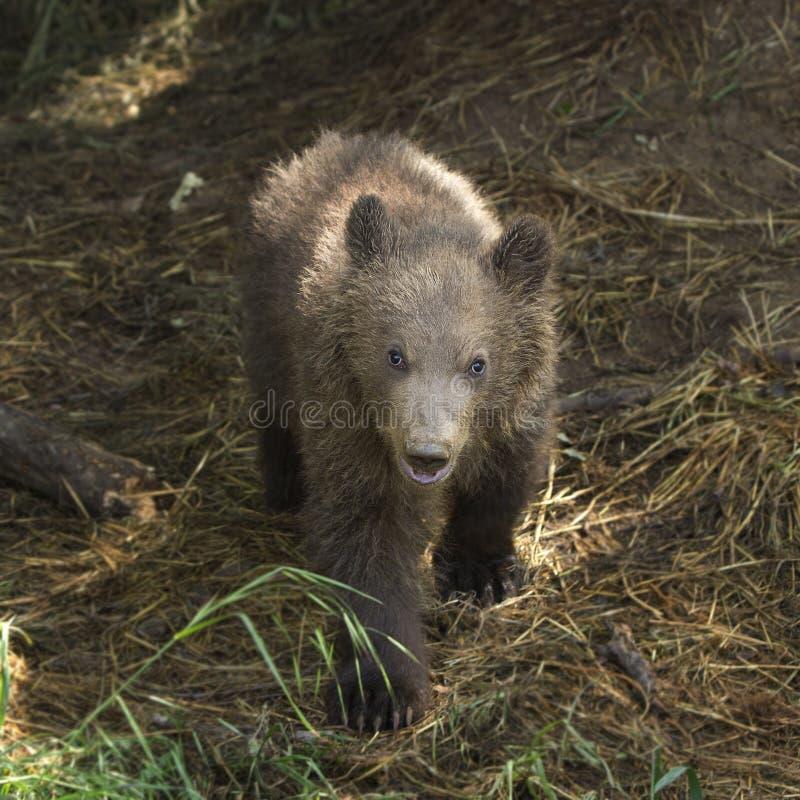 Urso de Kamchatka Brown imagens de stock