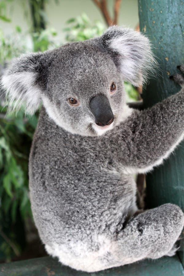 Urso de Koala fotografia de stock royalty free