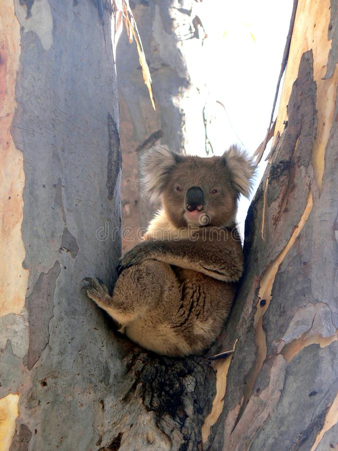 Urso de Koala fotos de stock royalty free