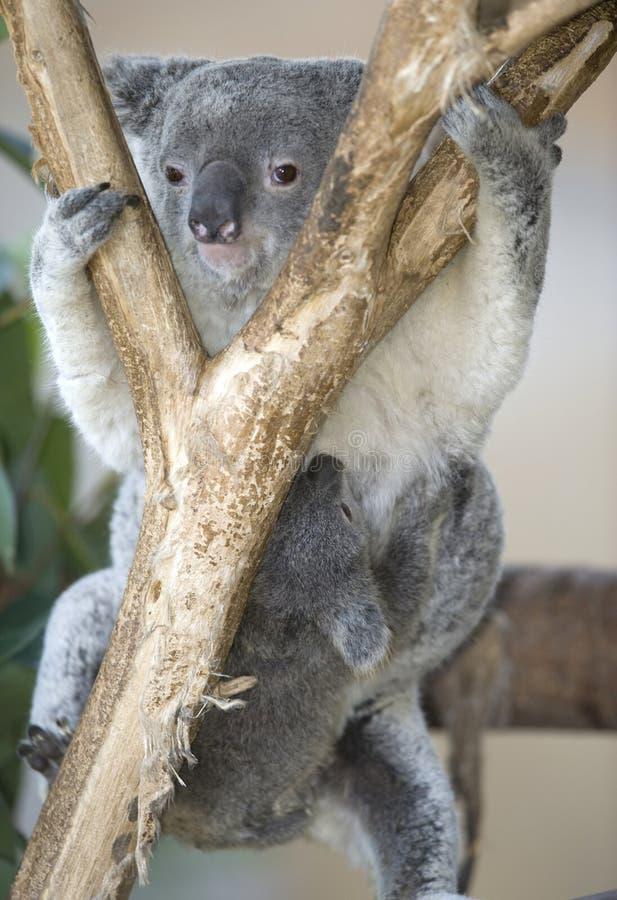 Urso de koala australiano com seu joey do bebê na barriga imagens de stock royalty free