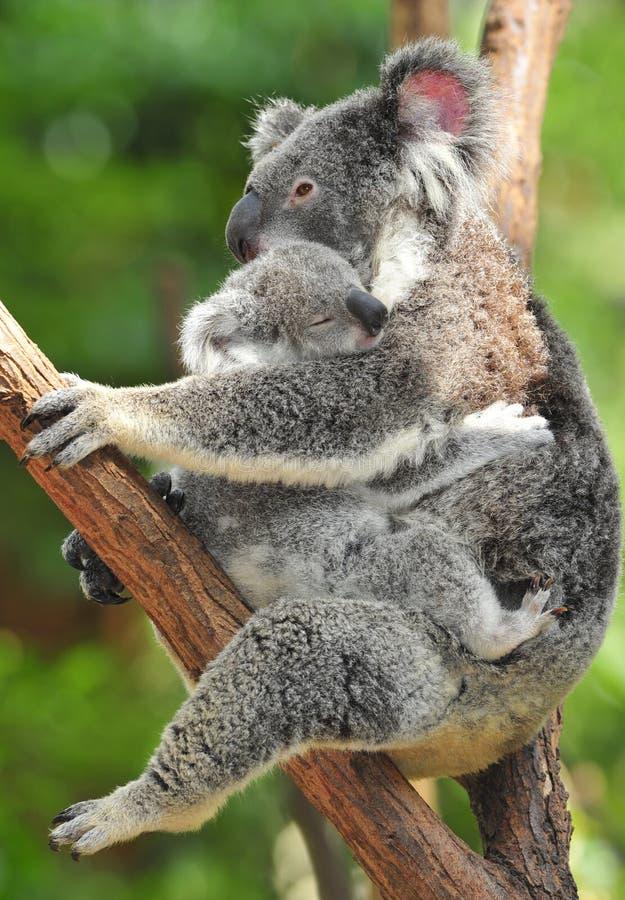 Urso de koala australiano que carreg o bebê bonito Austrália imagem de stock royalty free