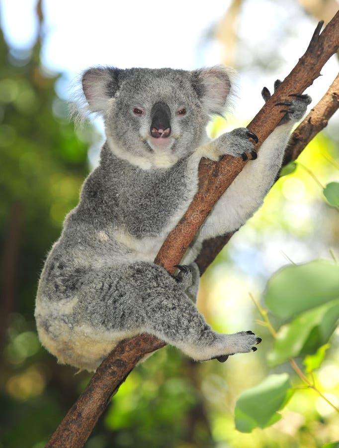Urso de koala comum Austrália do Australian fotografia de stock