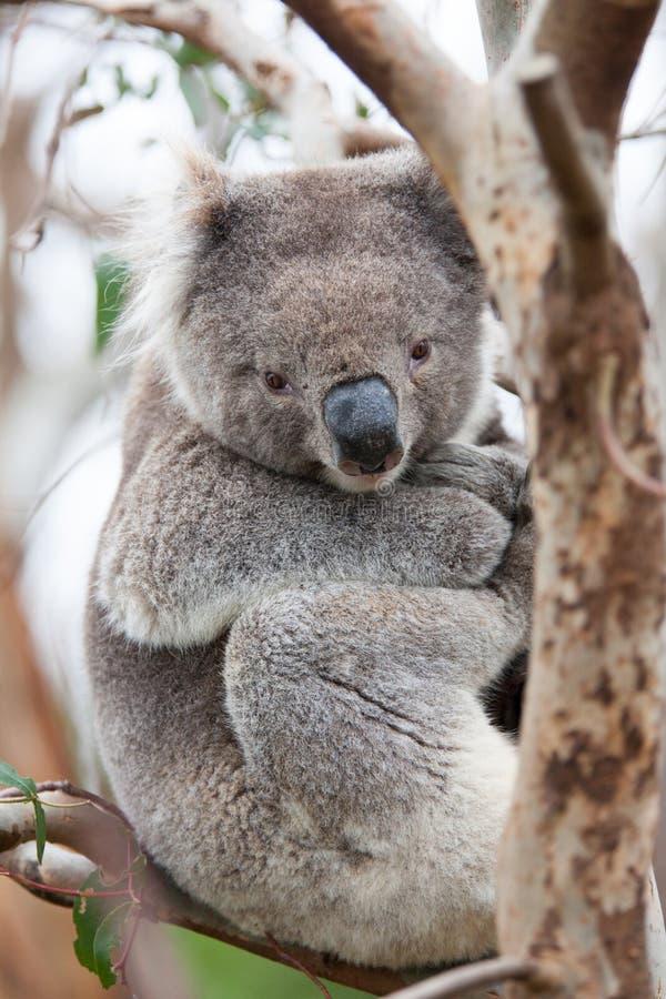 Urso de Koala que senta-se em uma árvore imagens de stock royalty free