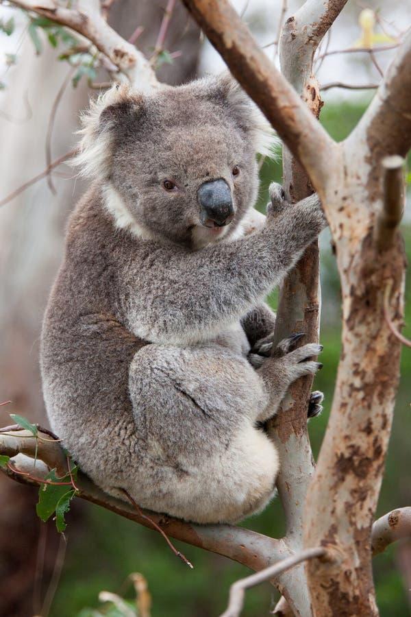 Urso de Koala que senta-se em uma árvore foto de stock