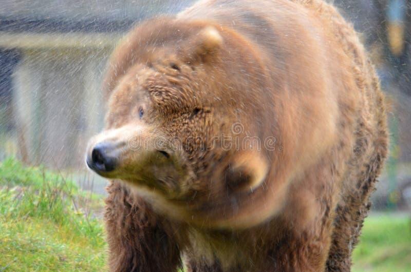 Urso de Kodiak que agita a água fora fotografia de stock royalty free
