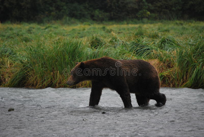 Urso de Kodiak/urso de Brown do Alasca fotografia de stock