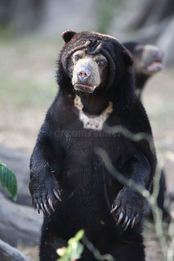 Urso de mel no vindo mais perto imagens de stock royalty free