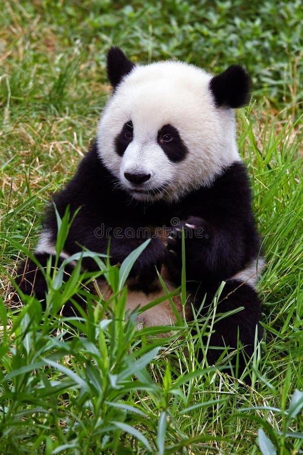 Urso de panda gigante imagem de stock royalty free