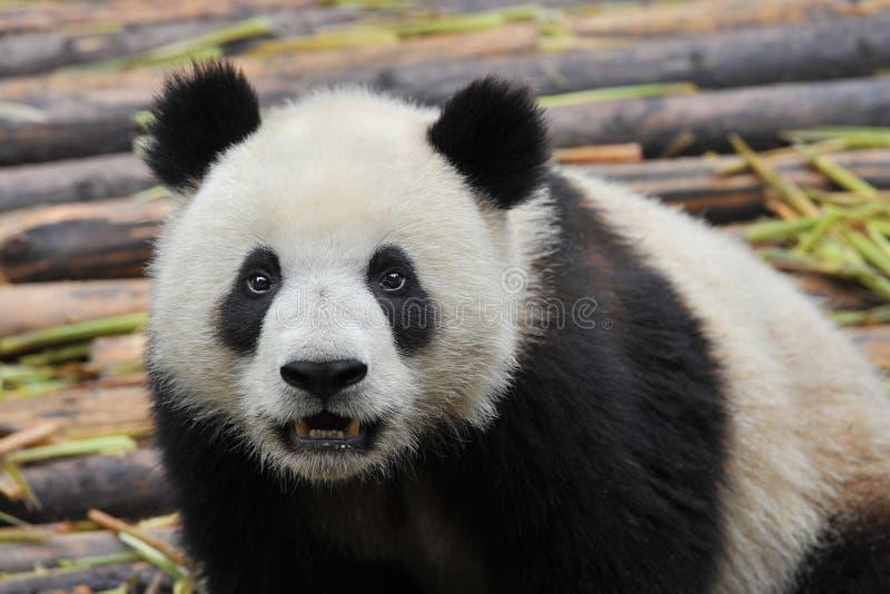 Urso de panda gigante fotografia de stock